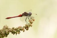 Bloedrode heidelibel man – Sympetrumsanguineum
