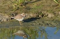 Bontbekplevier juveniel – Charadriushiaticula