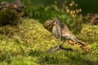 Boompieper met wasbeurt – Anthustrivialis