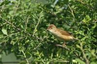 Bosrietzanger – Acrocephalus palustris(1)