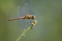 Bruinrode heidelibel – Sympetrum striolatum(1)