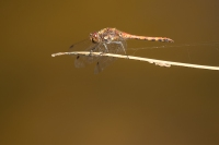 Bruinrode heidelibel – Sympetrum striolatum(2)