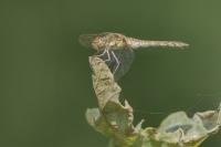Bruinrode heidelibel vrouw – Sympetrumstriolatum