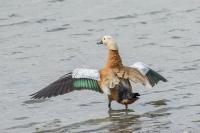 Casarca vleugels spreidend – Tadornaferruginea