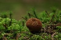 Donkerbruine stuifzwam – Lycoperdon umbrinum(2)