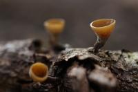 Eikentak stromakelkje – Poculum firmum(1)