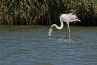 Flamingo – Phoenicopteridae (1)