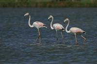 Flamingo – Phoenicopteridae (3)