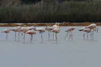 Flamingo – Phoenicopteridae (4)