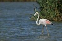 Flamingo – Phoenicopteridae (5)