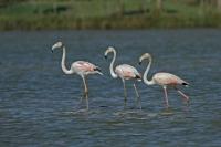 Flamingo – Phoenicopteridae (6)