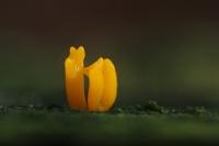 Gaffel hoorntje – Calocera furcata(1)