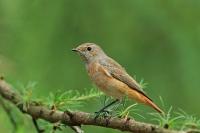Gekraagde roodstaart – Phoenicurus phoenicurus(2)