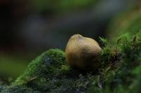 Gele aardappelbovist – Sclerodermacitrinum