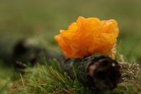 Gele trilzwam – Tremella mesenterica(2)