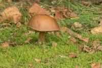 Gewone berkenboleet – Leccinum scabrum(1)