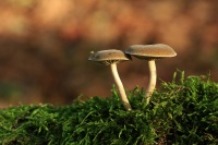 Gewone hertenzwam – Pluteuscinereofuscus
