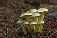 Gewone zwavelkop – Pleurotus ostreatus(2)