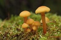 Gewoon fluweelpootje – Flammulina velutipes(3)