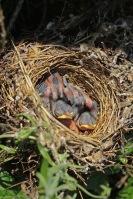 Grasmus nest met jongen – SylviaCommunis