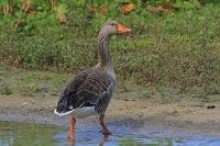 Grauwe gans – Anser anser(1)