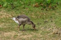 Grauwe gans – Anser anser(4)