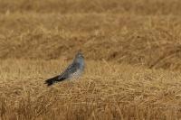 Grauwe kiekendief  – Circuspygargus