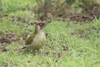Groene specht man – Picus viridis_MG_1827