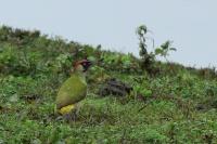 Groene specht – Picus viridis(1)
