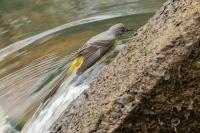 Grote gele kwikstaart in bad – Motacilla cinerea(3)