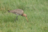 Grutto vrouw – Limosa limosa(1)