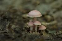 Heksenschermpje – Mycena rosea(1)