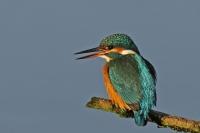 ijsvogel-alcedo atthis (1)