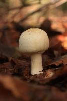 Karbol champignon – Agaricusxanthodermus