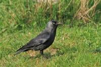 Kauw – Corvus monedula(1)