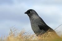 Kauw – Corvus monedula(2)