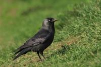 Kauw – Corvus monedula(3)