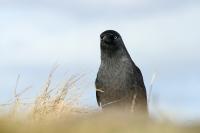 Kauw – Corvus monedula(4)