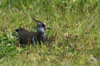 Kievit – Vanellus vanellus(5)