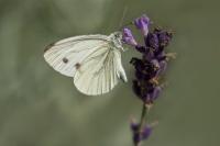 Klein geaderd witje – Pieris napi(1)