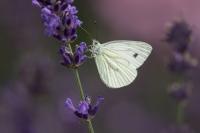 Klein geaderd witje – Pierisnapi