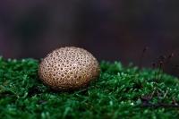 Kleine aardappelbovist –  Scleroderma areolatum(2)