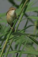 Kleine karekiet – Acrocephalus scirpaceus(4)
