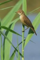 Kleine karekiet – Acrocephalusscirpaceus