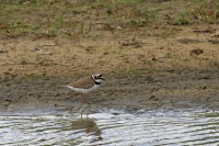Kleine plevier –  Charadrius dubius(2)