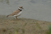 Kleine plevier – Charadrius dubius(9)