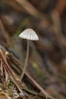 Kleine viltinktzwam – Psathyrellaprona