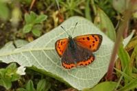 Kleine vuurvlinder  – Lycaena phlaeas(2)