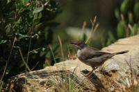 Kleine zwartkop – Sylvia melanocephala(1)
