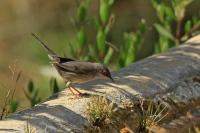 Kleine zwartkop – Sylvia melanocephala(2)